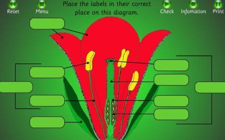 Parts ofthe flower interactive http juanmaenglishcorner pbworks com